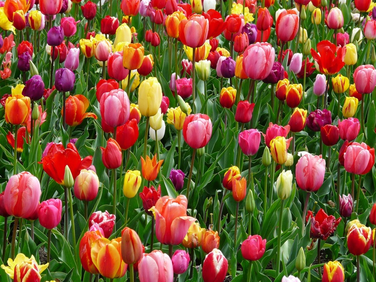 How to Grow Tulips for Spring Color
