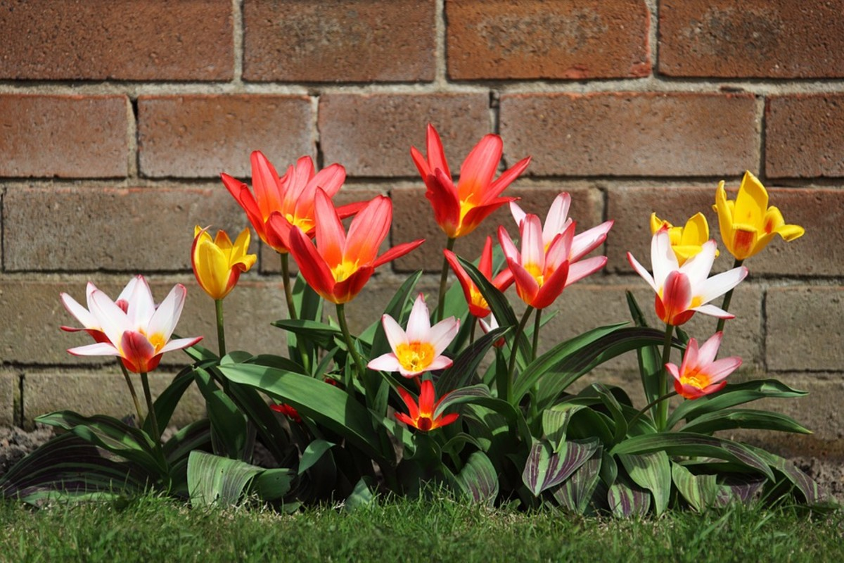So-called species tulips are smaller than the showy hybrid tulips.