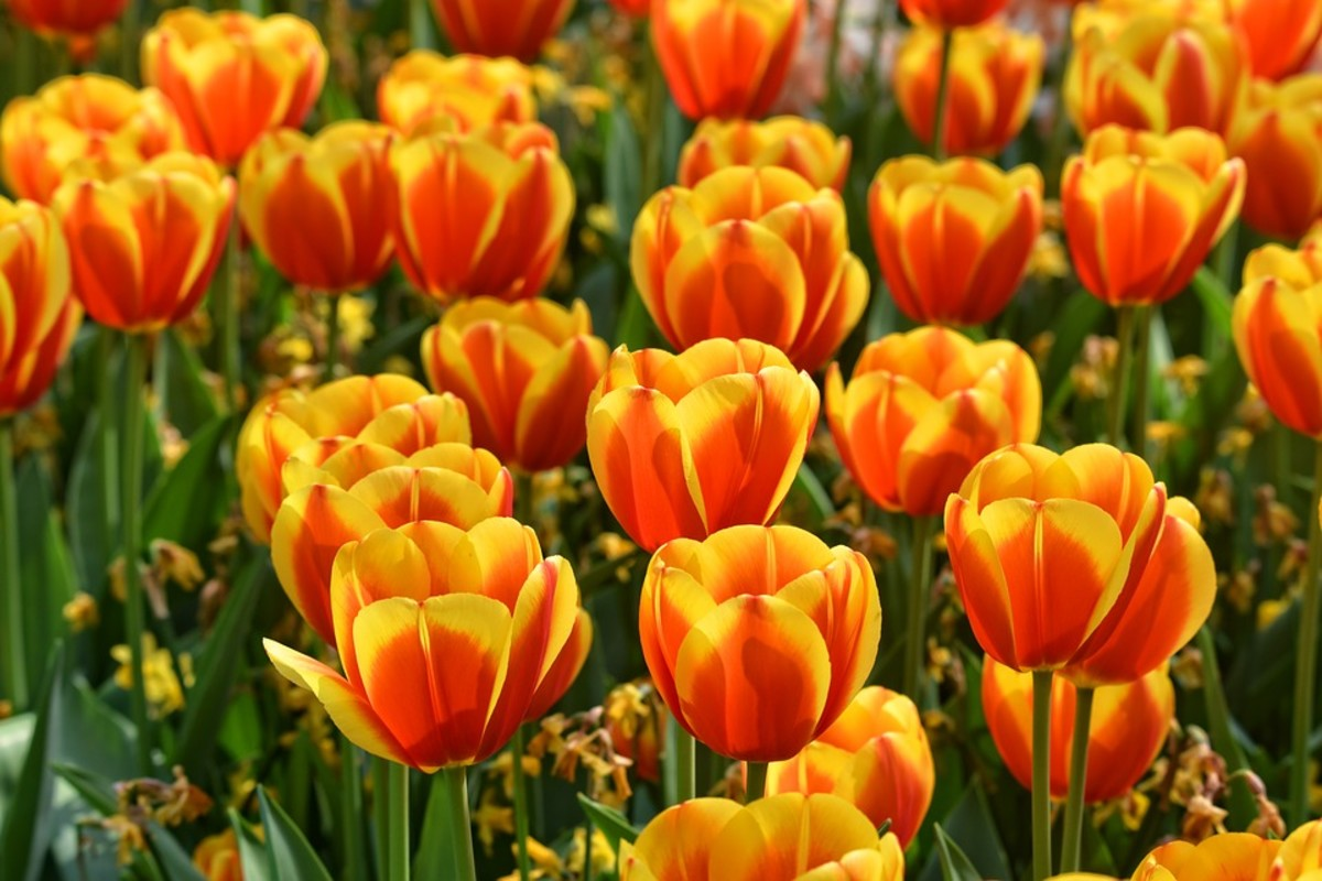 Bicolor tulips are striking