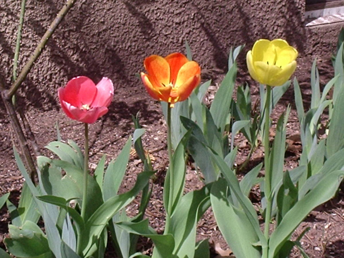 Darwin tulips in 2006 that were planted in 1996.