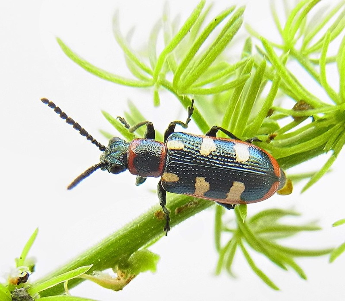 How to Get Rid Asparagus Beetles