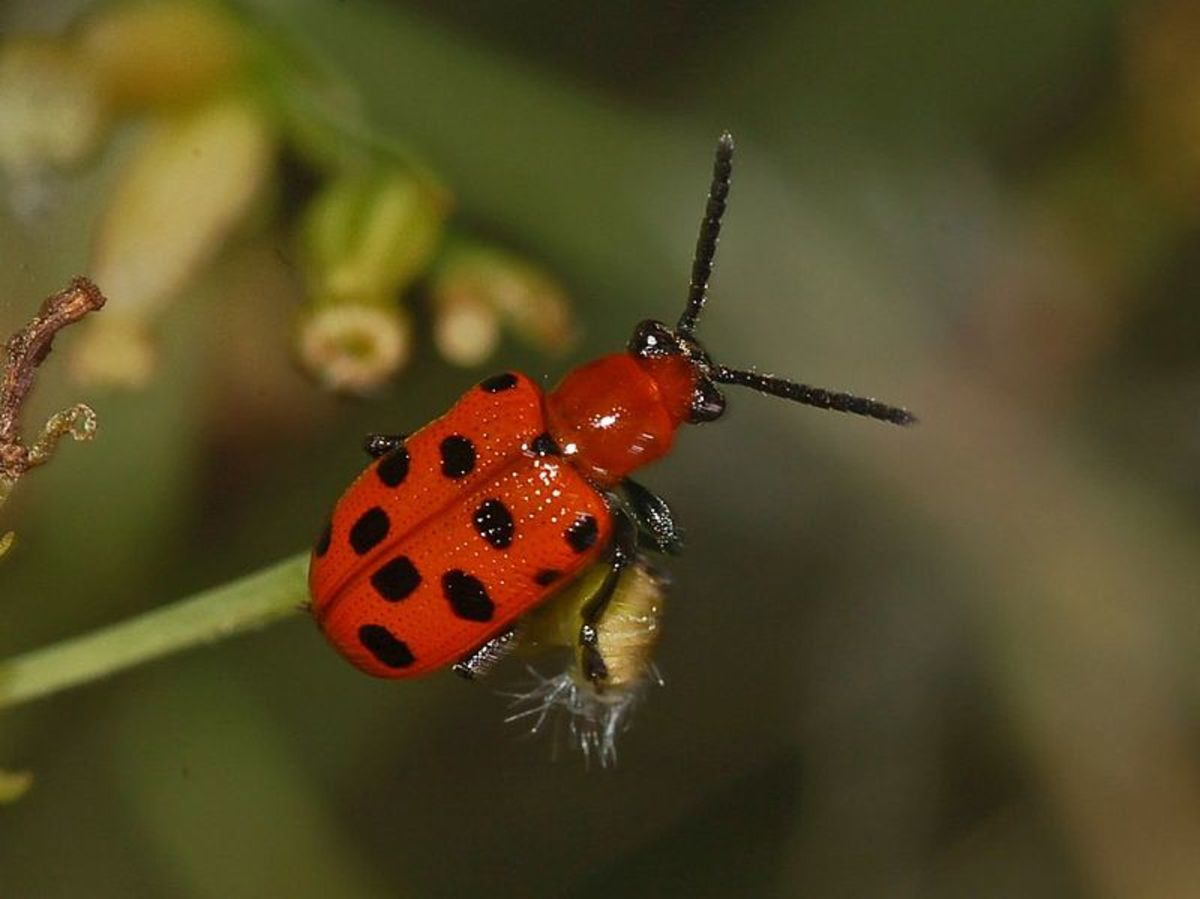Spotted Asparagus Beetle, often mistaken for a lady bug