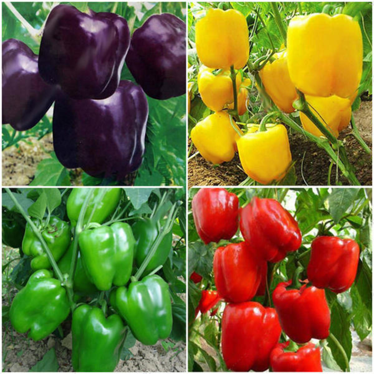 Planting Peppers in Your Ohio Garden