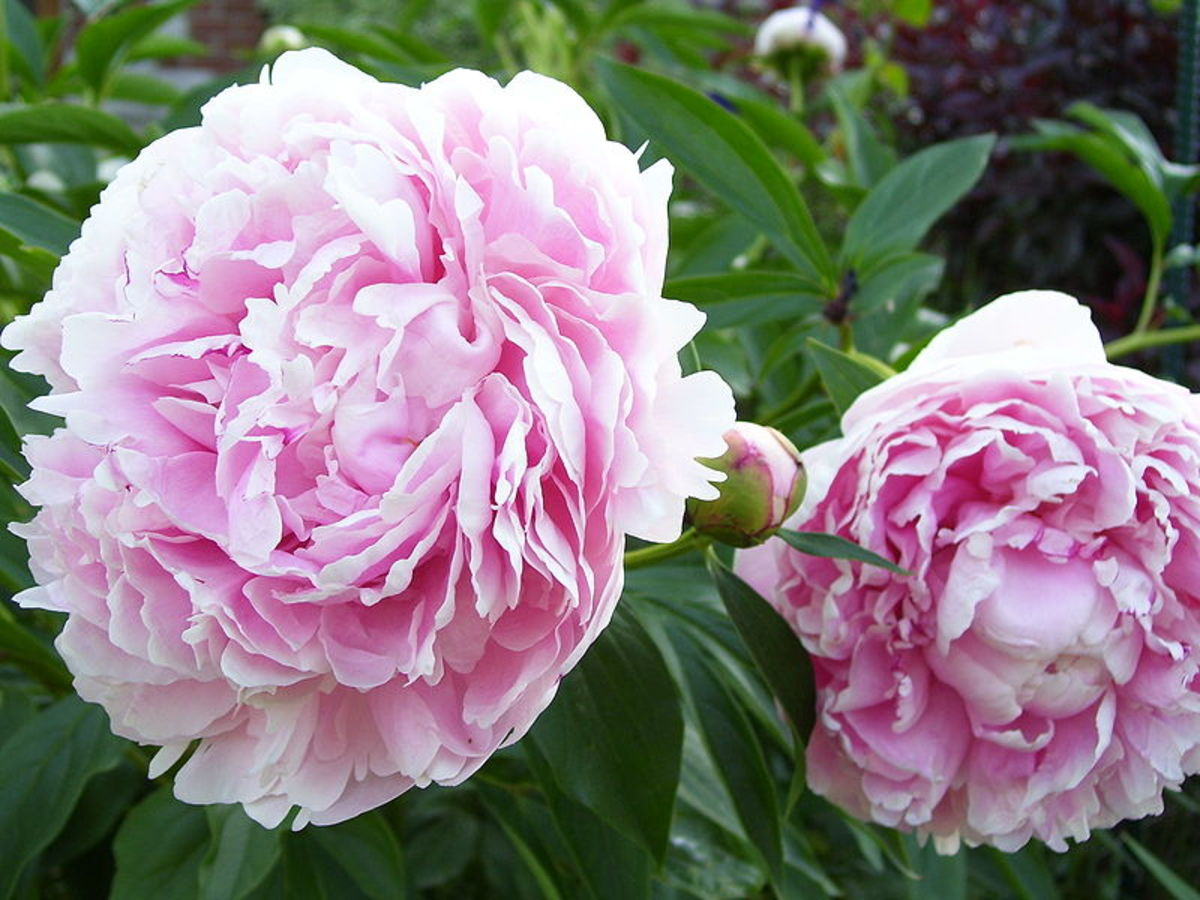 Sarah Bernhardt, an heirloom double flowered peony