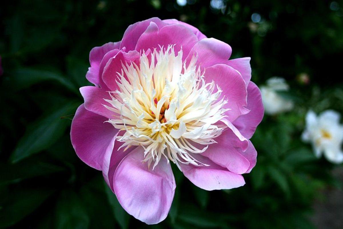 Anemone flowered peony