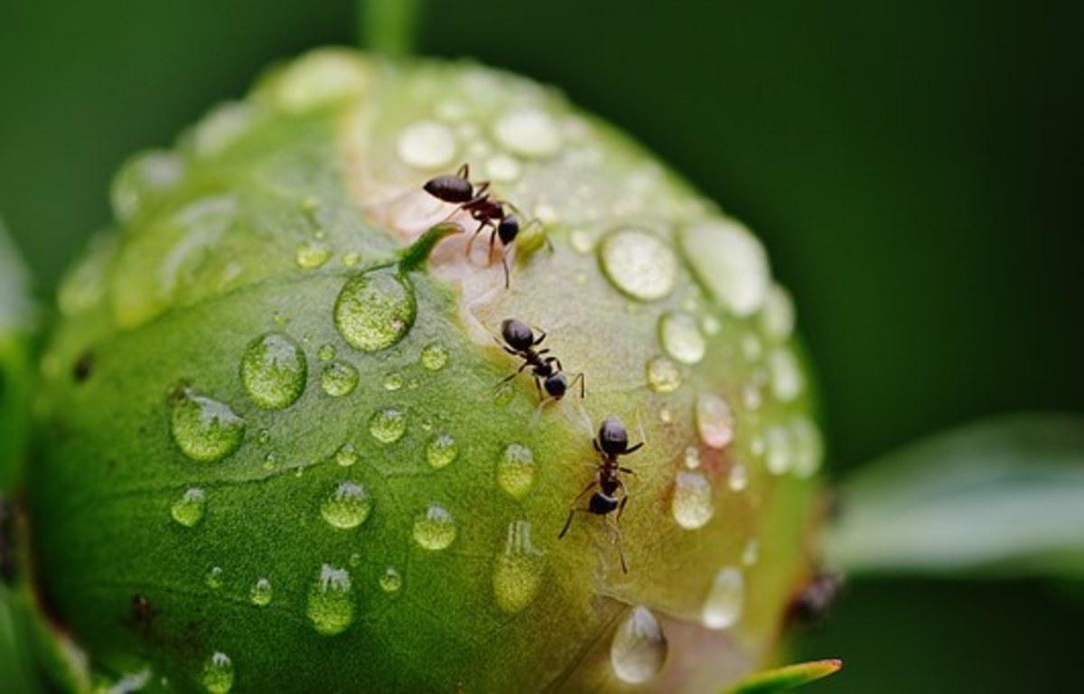 Ants do not harm peonies.