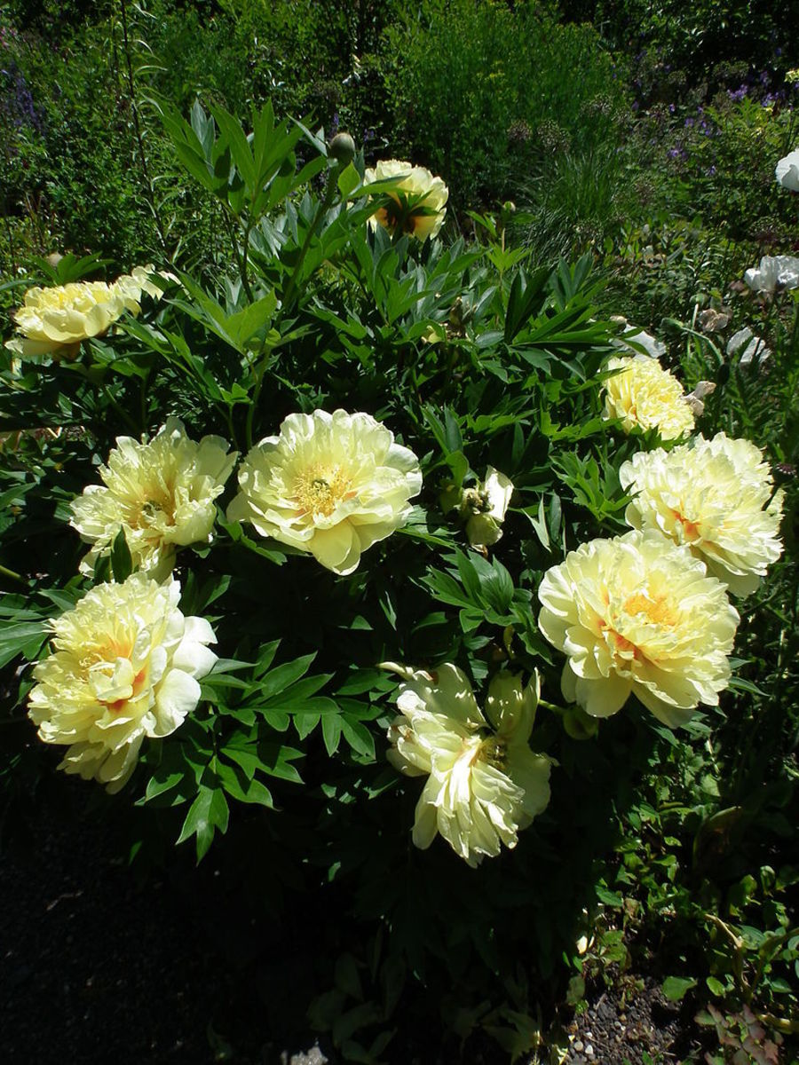 The Itoh peonies are hybrids between herbaceous and tree peonies.