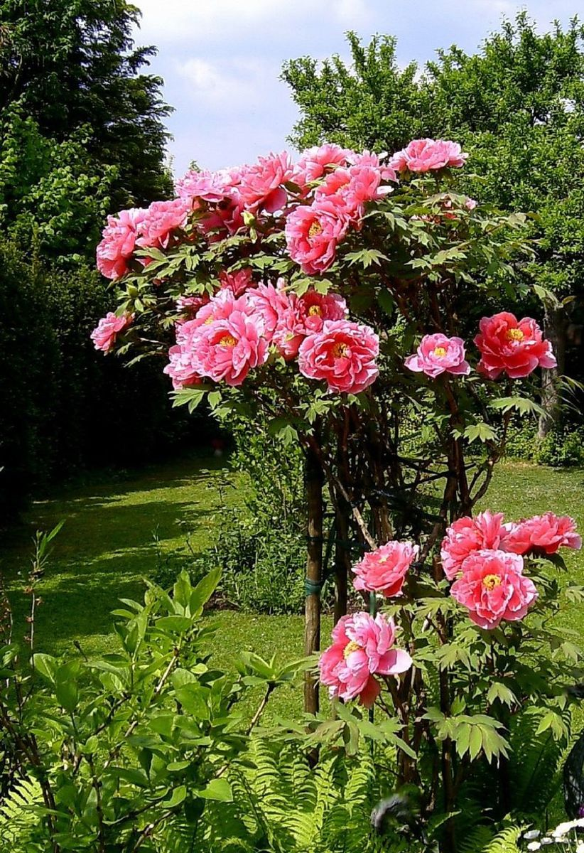 Tree peonies are characterized by their woody stems and large flowers.