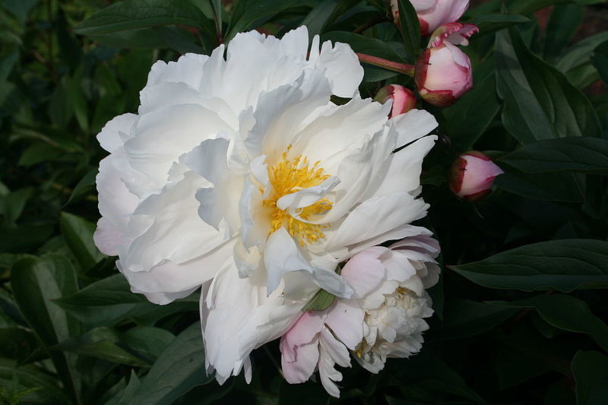 Semi-double flowered peony