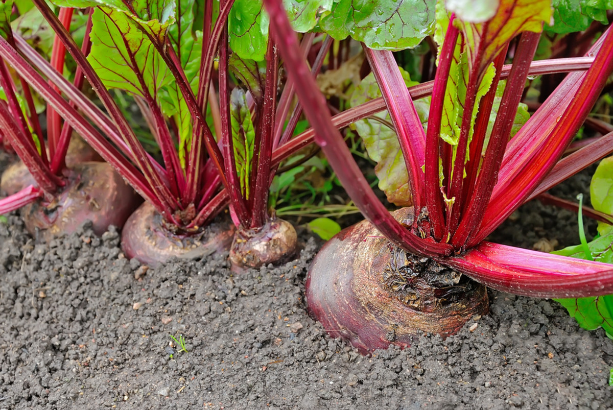 Most beet varieties are ready to be harvested about two months after they are planted.