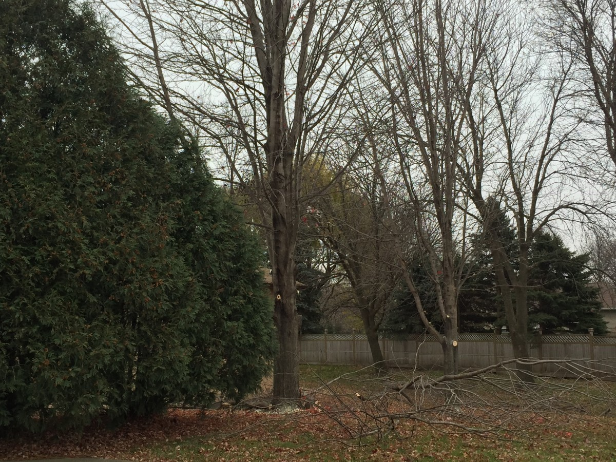 removing-tree-limbs