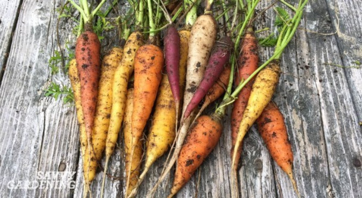 Carrots lefts in the ground over winter turn starch to sugar, which acts as a natural antifreeze, making winter carrots sweeter and more delicious than others. The best winter gardening varieties actually improve in flavor, texture, and sweetness.