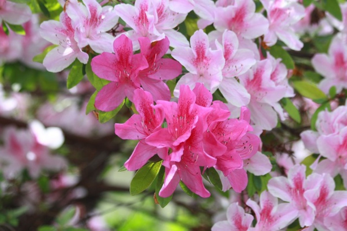 Here are some colorful azaleas in bloom.
