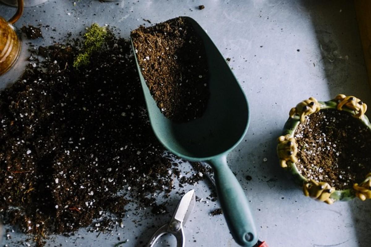 Acidic soil is necessary for growing strong, healthy azaleas.