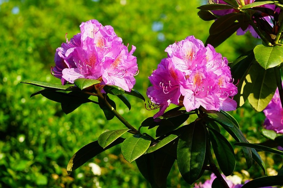 Grow azaleas in bushes.