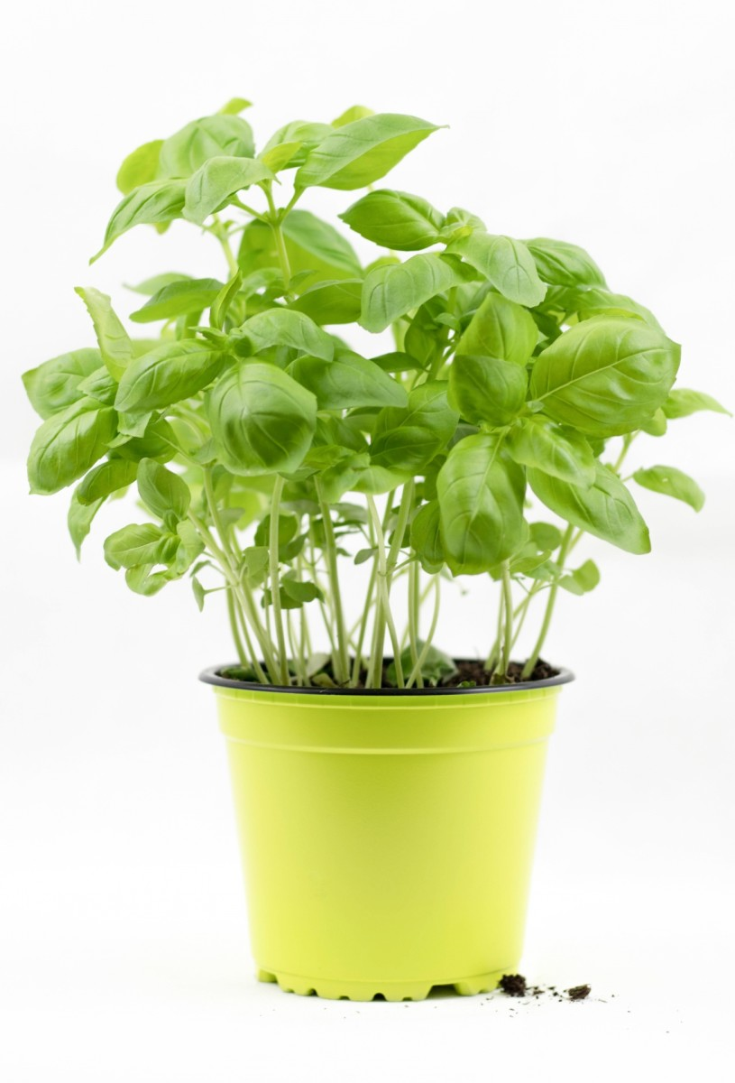 Basil grows great in pots indoors or outside!