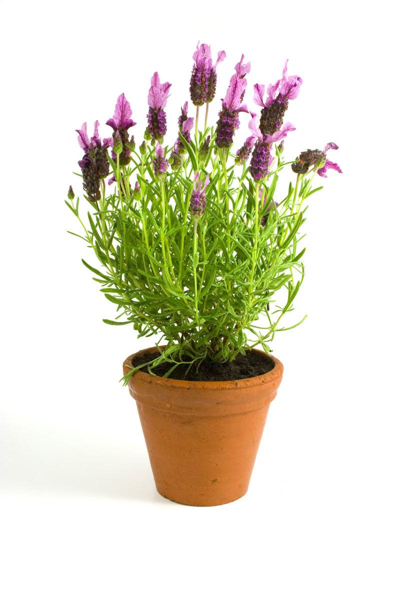 Lavender grows best in terra cotta pots.