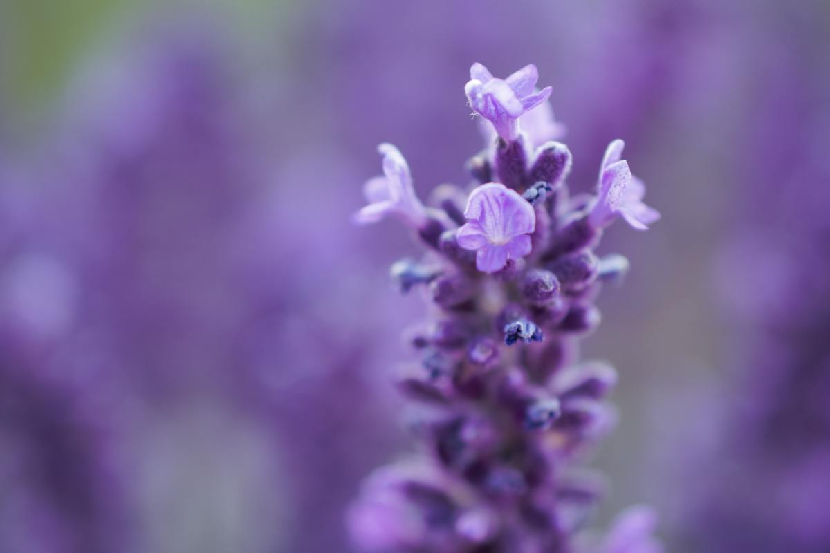 how-to-grow-lavender-indoors