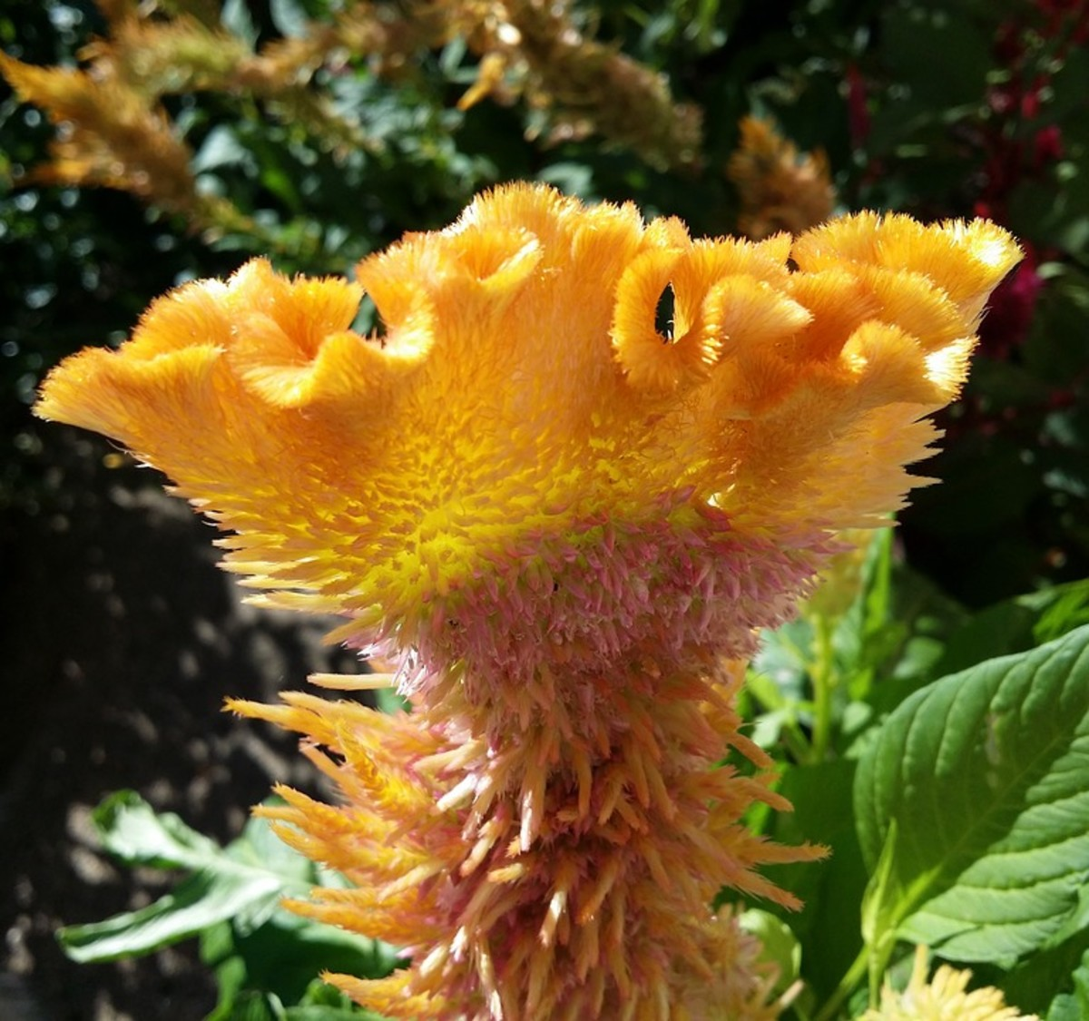 "Celosia cristata is often referred to as ""cockscomb"" because of its resemblance to a rooster's comb."