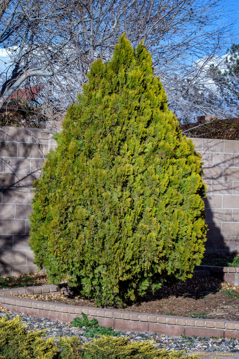 This is the Leyland cypress tree in our backyard, which we are cloning by taking cuttings. It is a great home for many birds that depend on it when predators are in the area.