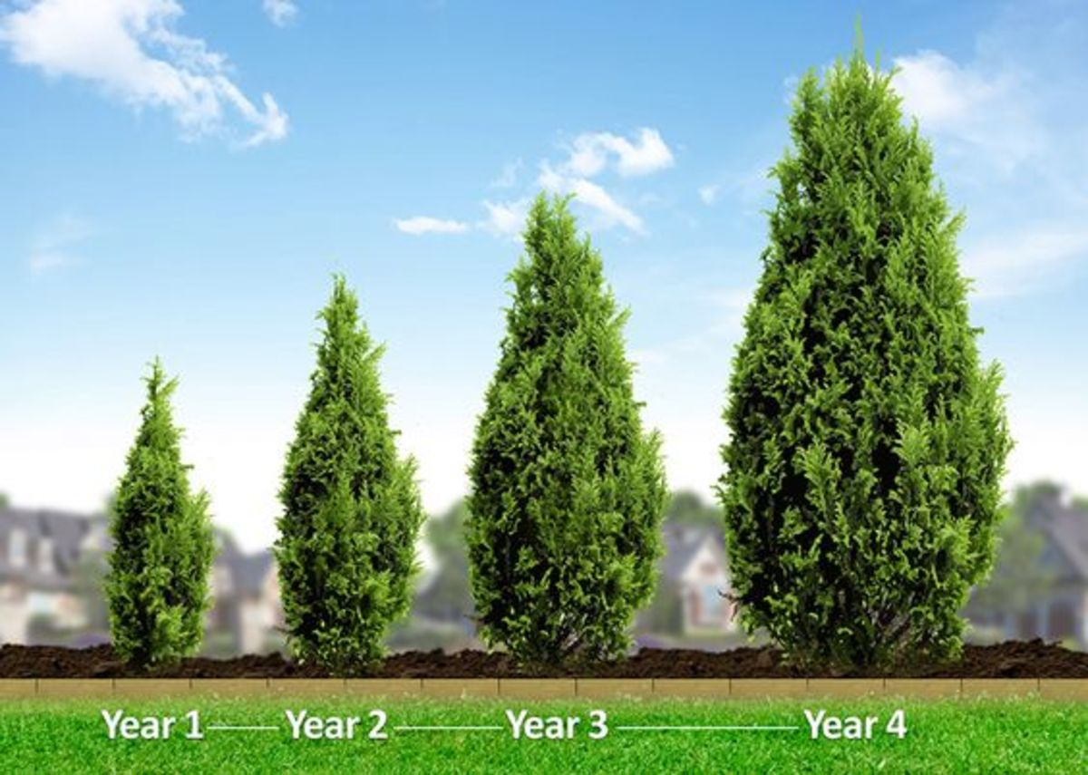 You can see from this photograph what your Leyland cypress tree could look like in only a few short years of growth.