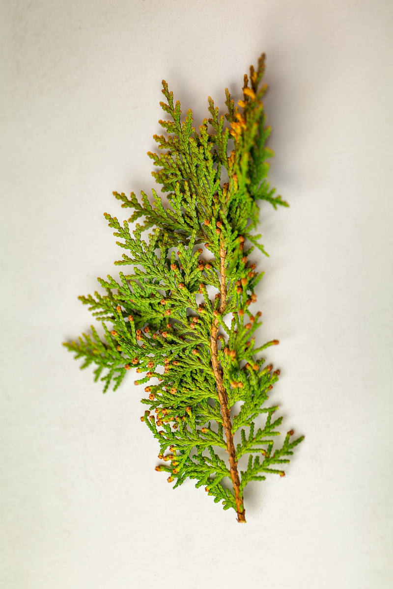 Your cutting should look something like this one. The brown, oval-shaped fruit of the Leyland cypress tree does not attract wildlife of any kind.