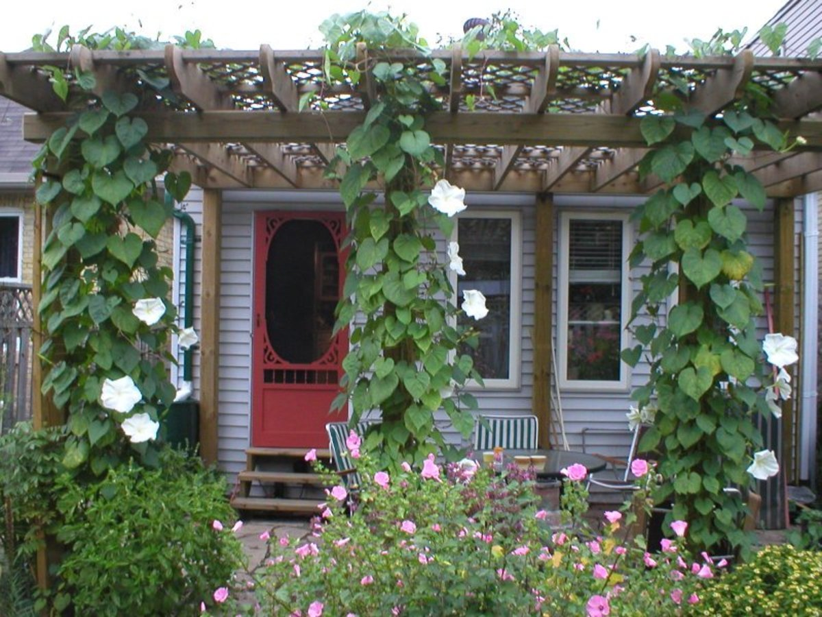 how-to-grow-moonflowers