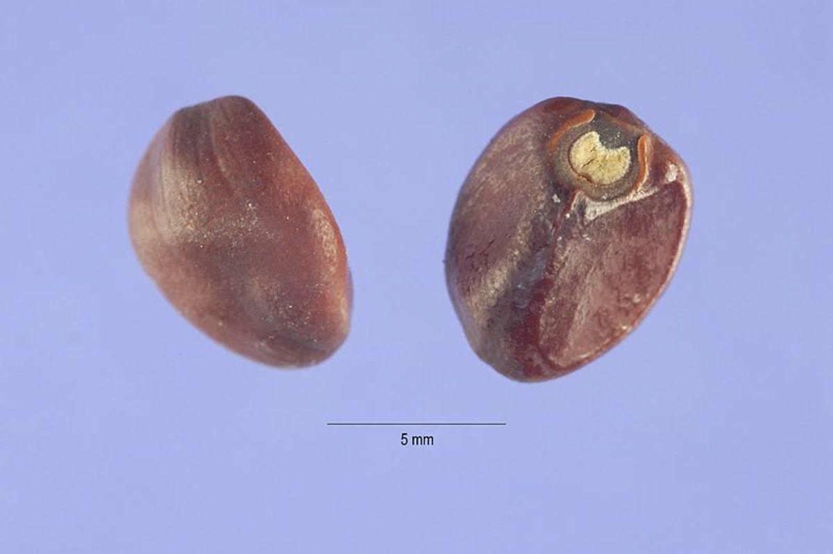 Moonflower Seeds
