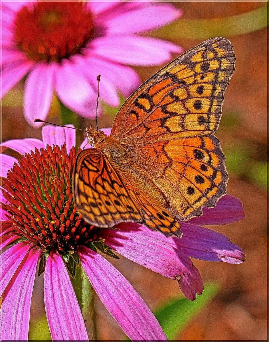 Butterflies do love purple coneflowers.