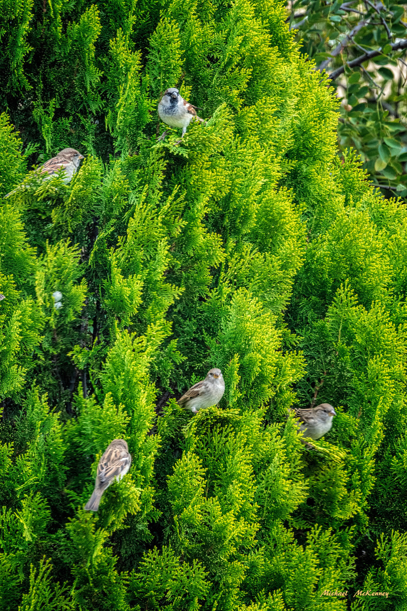 Our Leyland cypress tree is home to many birds that often come out to enjoy the sunshine together.