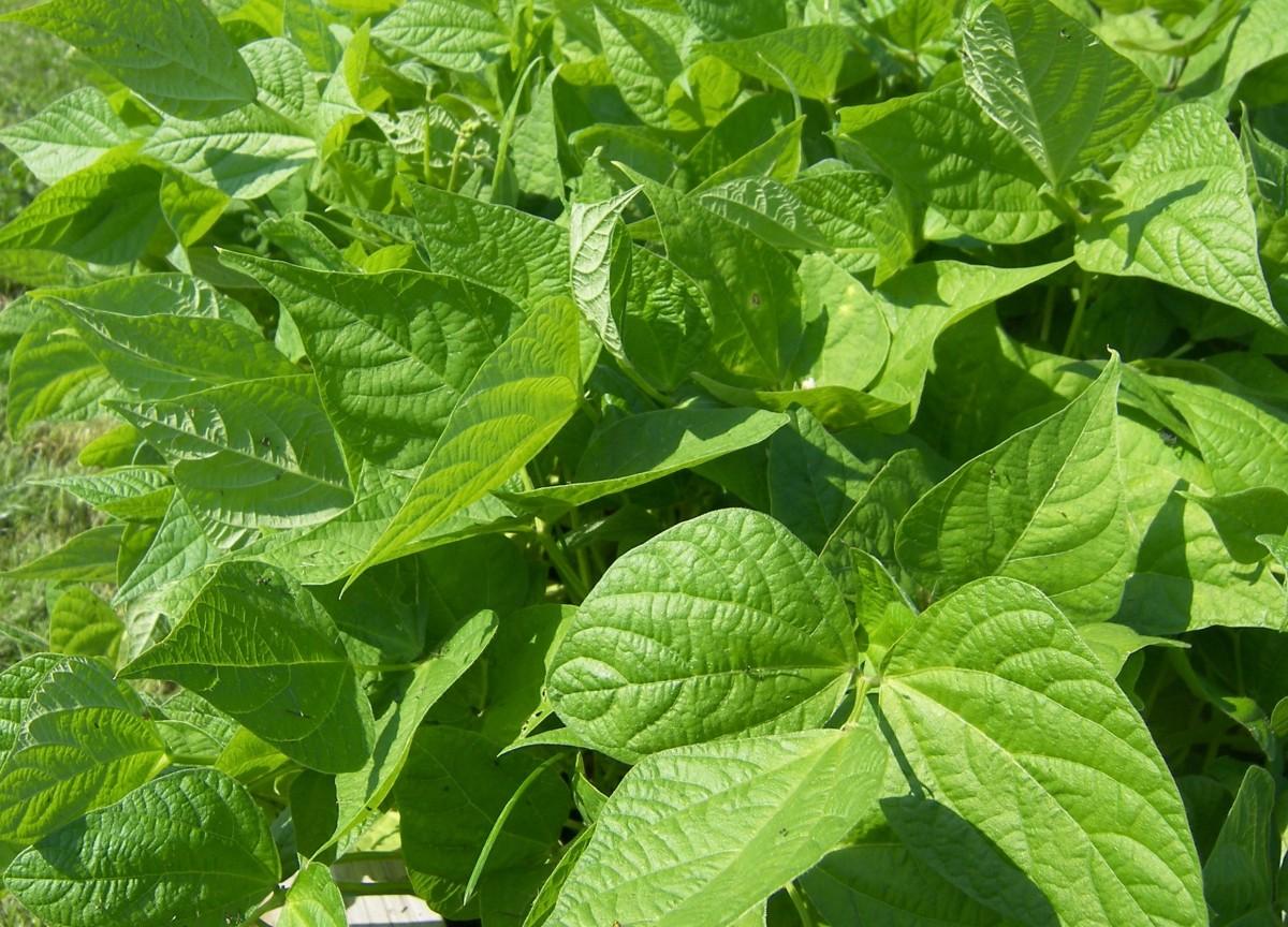 Bush bean plants