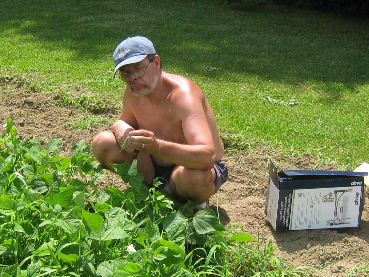 JJ's bean harvest