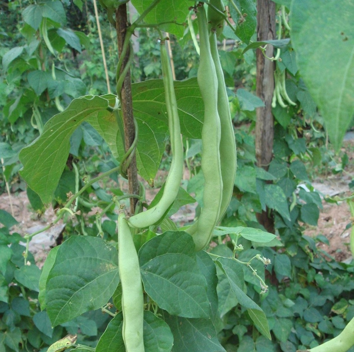 Green beans in your Ohio garden