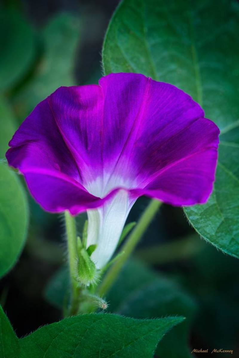 One of my purple morning glories - planted from seed as always.