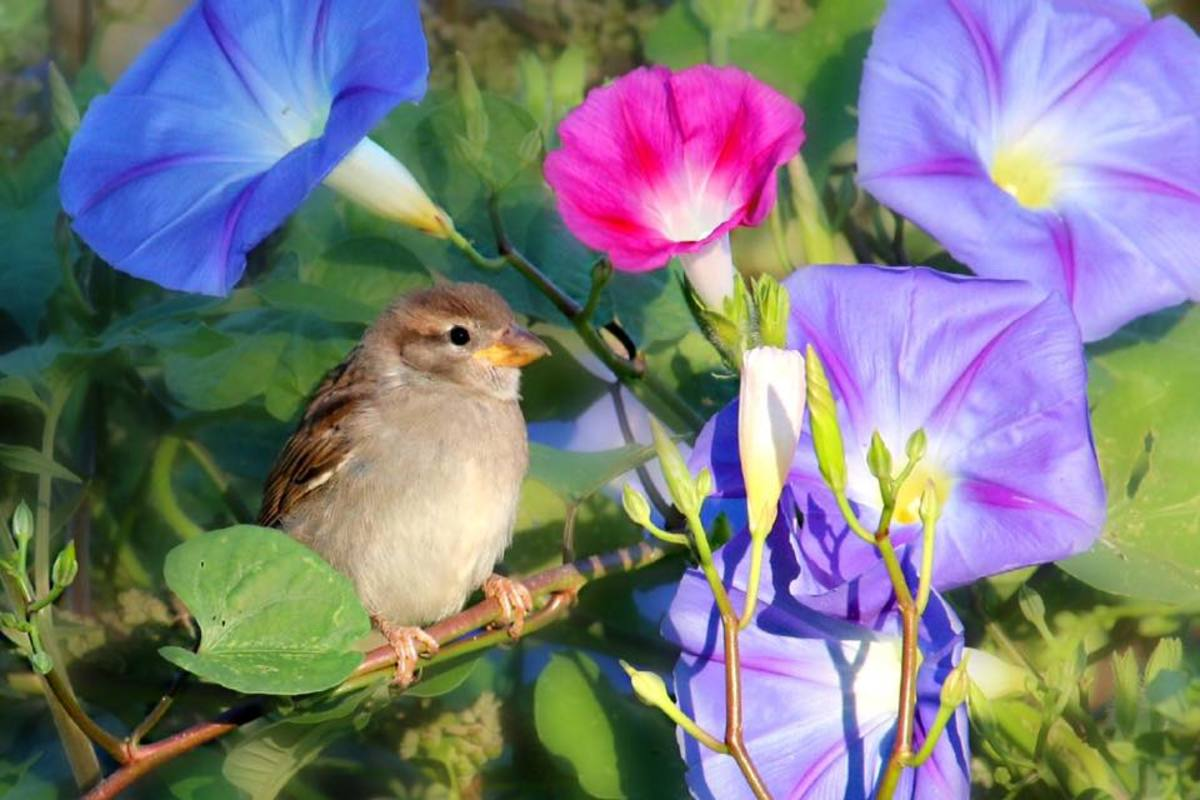 Pink, blue, and purple morning glories create a beautiful frame for this little sparrow.