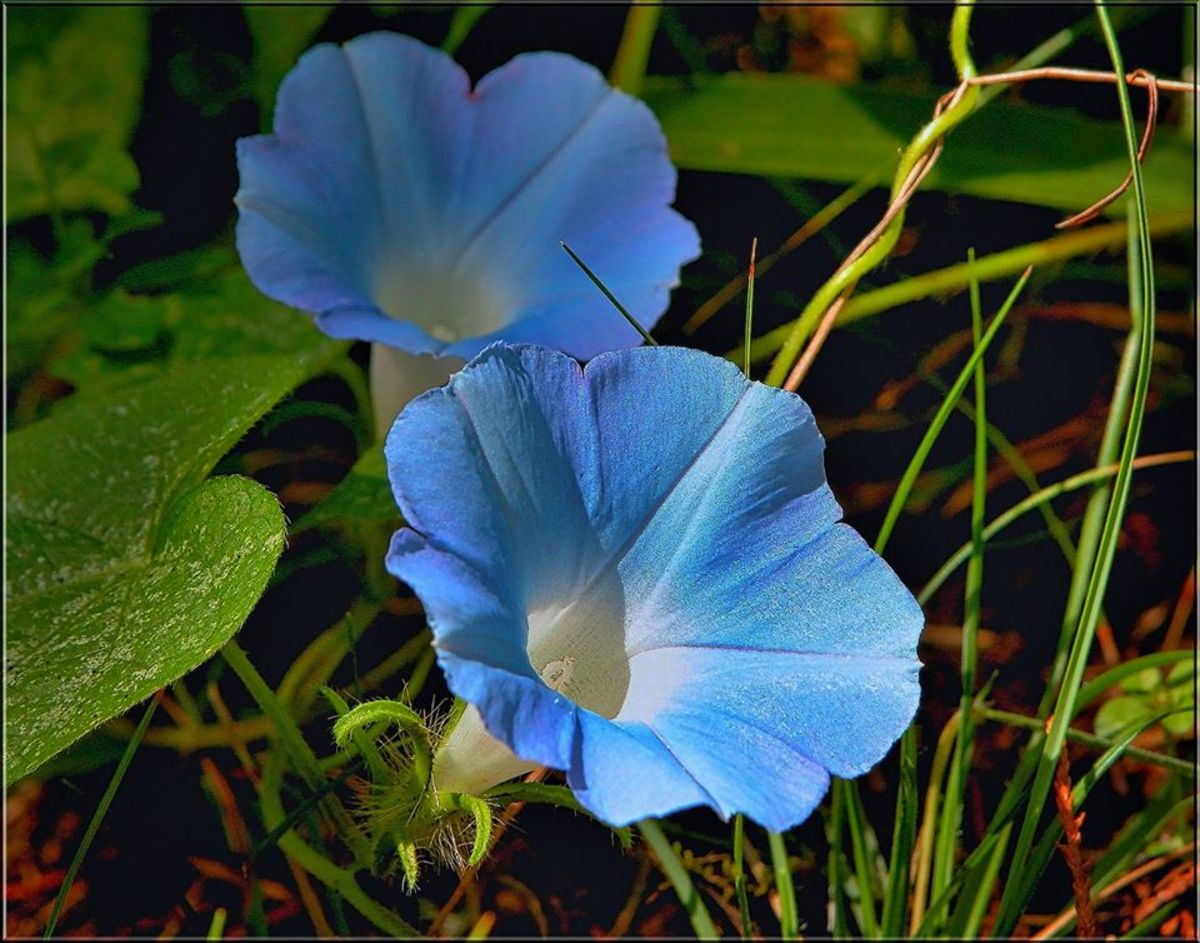These Heavenly Blue morning glories would look gorgeous alongside the purple ones pictured above.