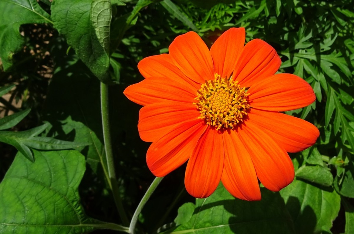 How to Grow Tithonia (Mexican Sunflowers)