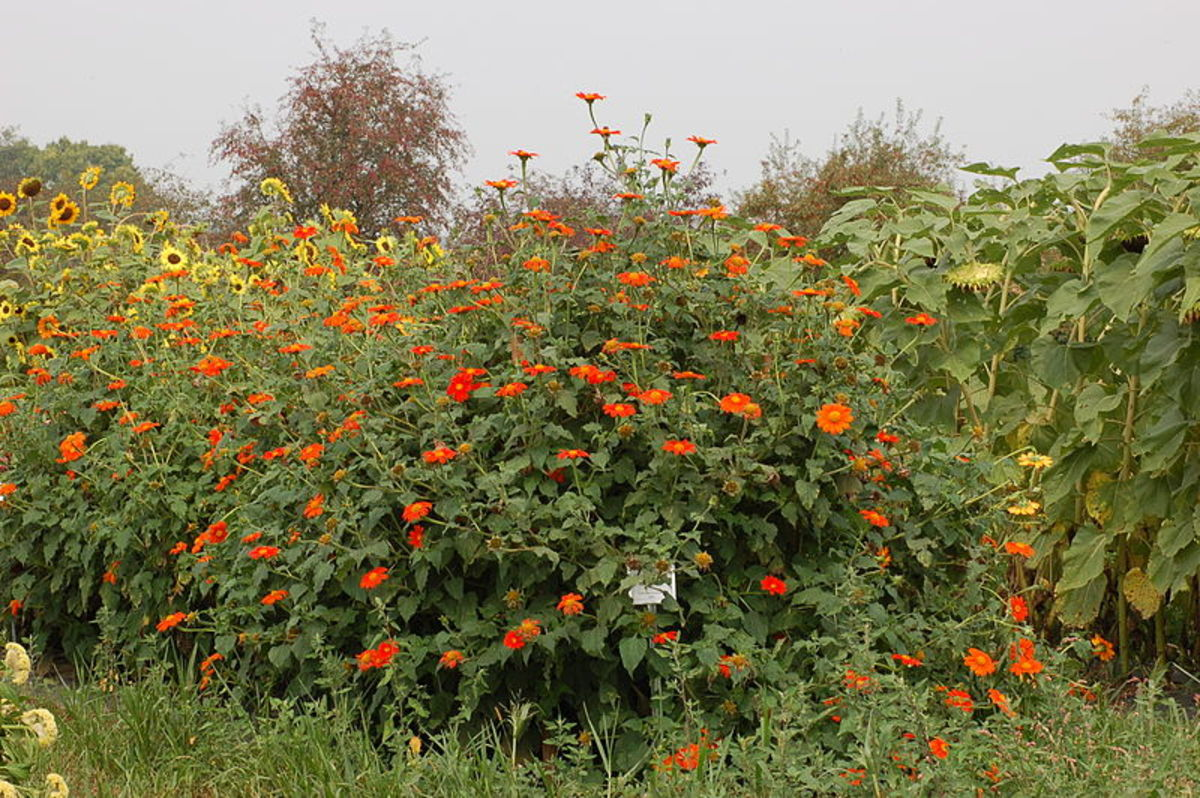 "Tithonia ""Torch"" growing with sunflowers"