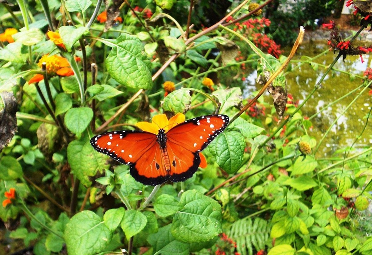 Tithonia is a butterfly magnet.