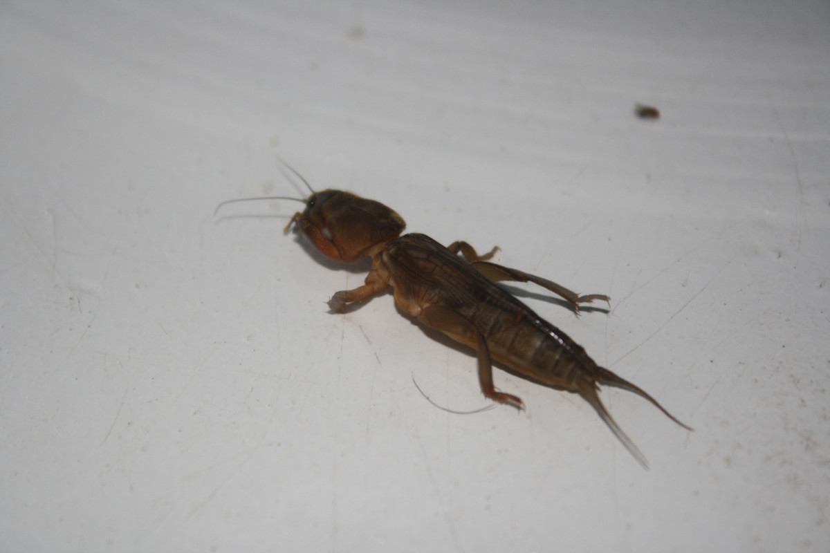Short winged mole cricket.