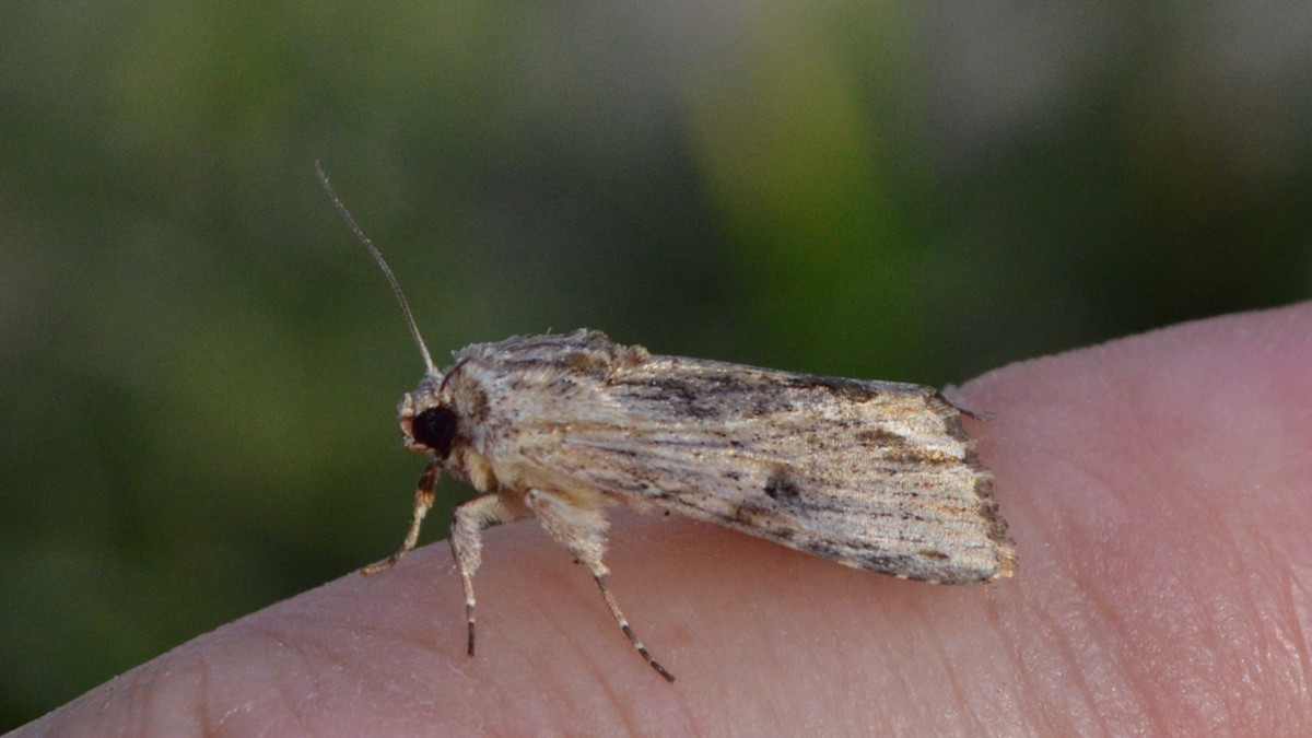 Southern Armyworm Moth