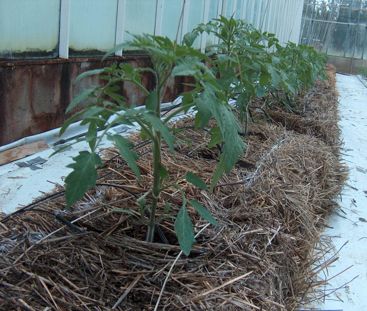 This is mulch on hydroponic tomatoes, but this is what you need to do in a regular garden or container too.