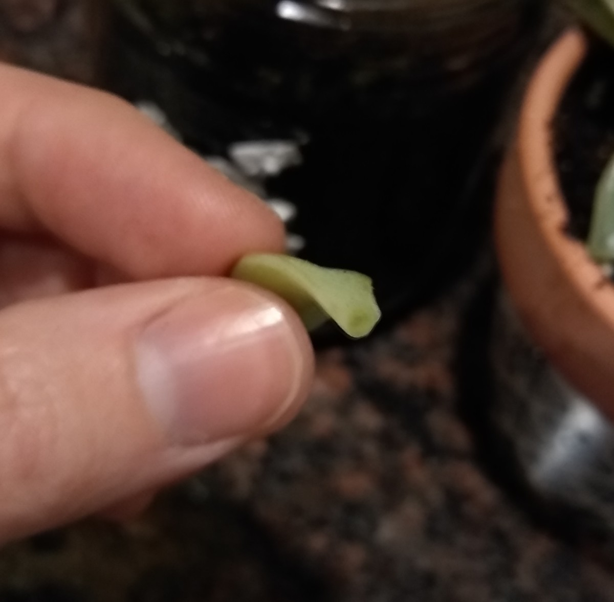 The leaf in the above picture shows what a freshly plucked or trimmed succulent will look like. Let this opening callous over for 1-2 days.