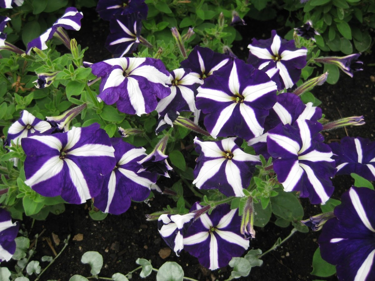 Petunia Starlet Purple Star