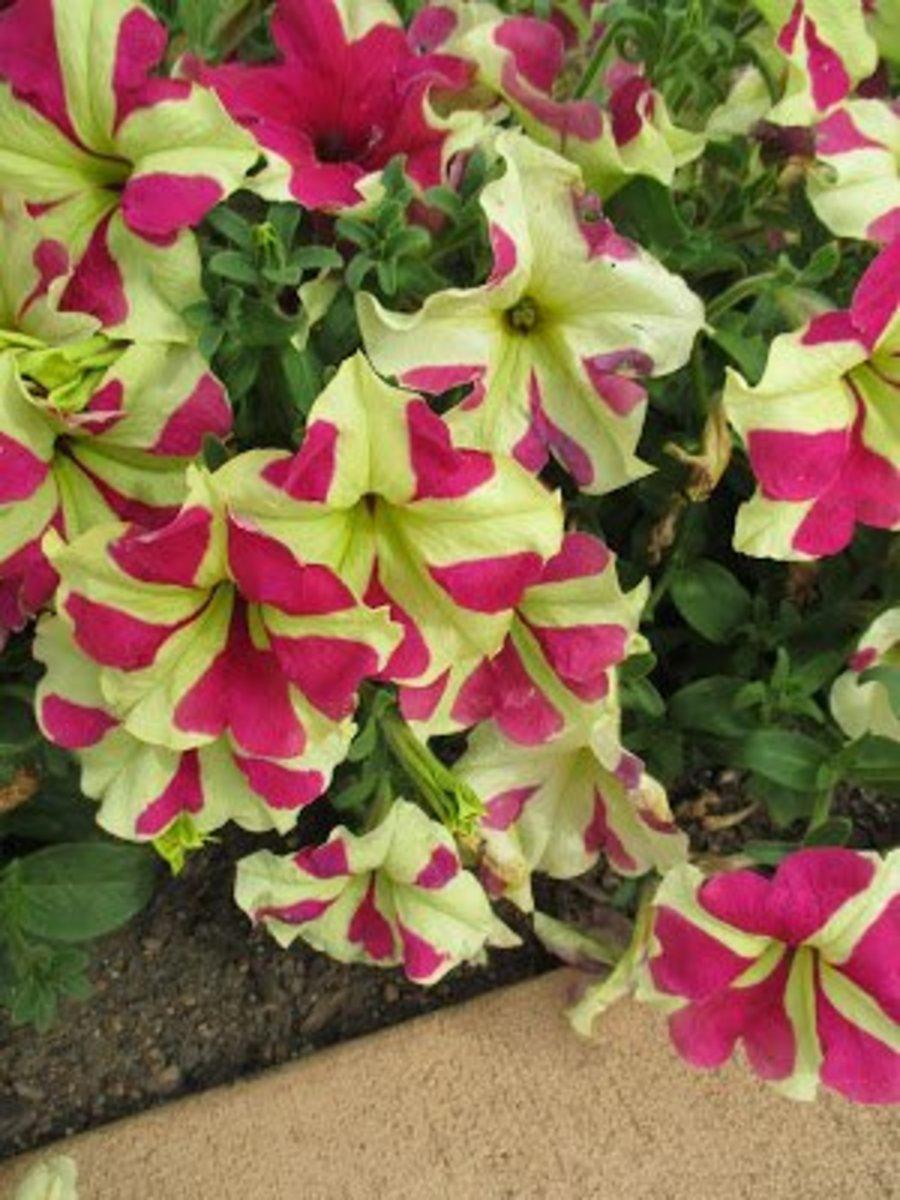 Petunia Sophistica Lime Bicolor