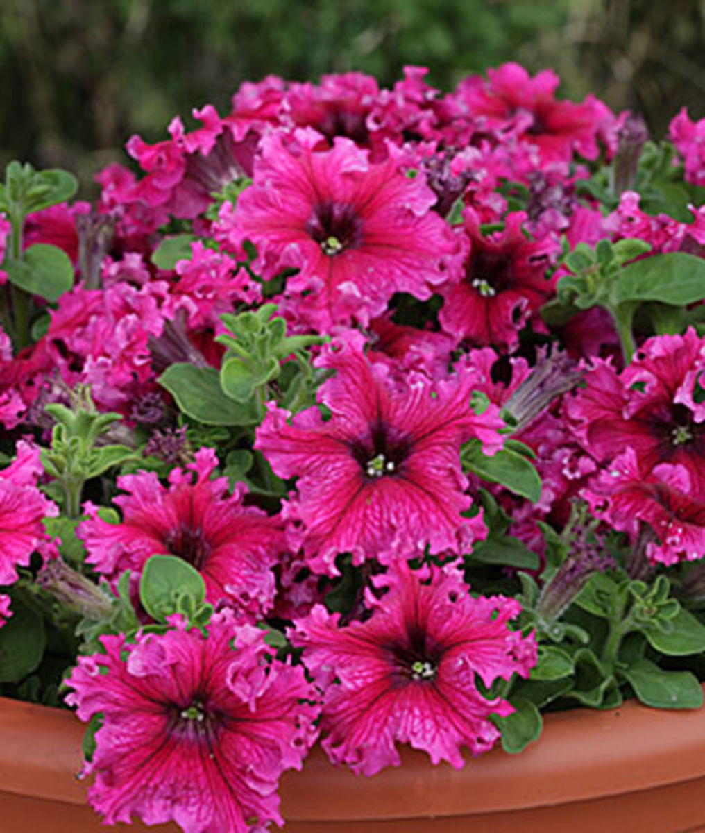 """As you can see, this newer variety of petunia, called Espresso Frappe Rose Hybrid, has more """"flair"""" than older petunias."""