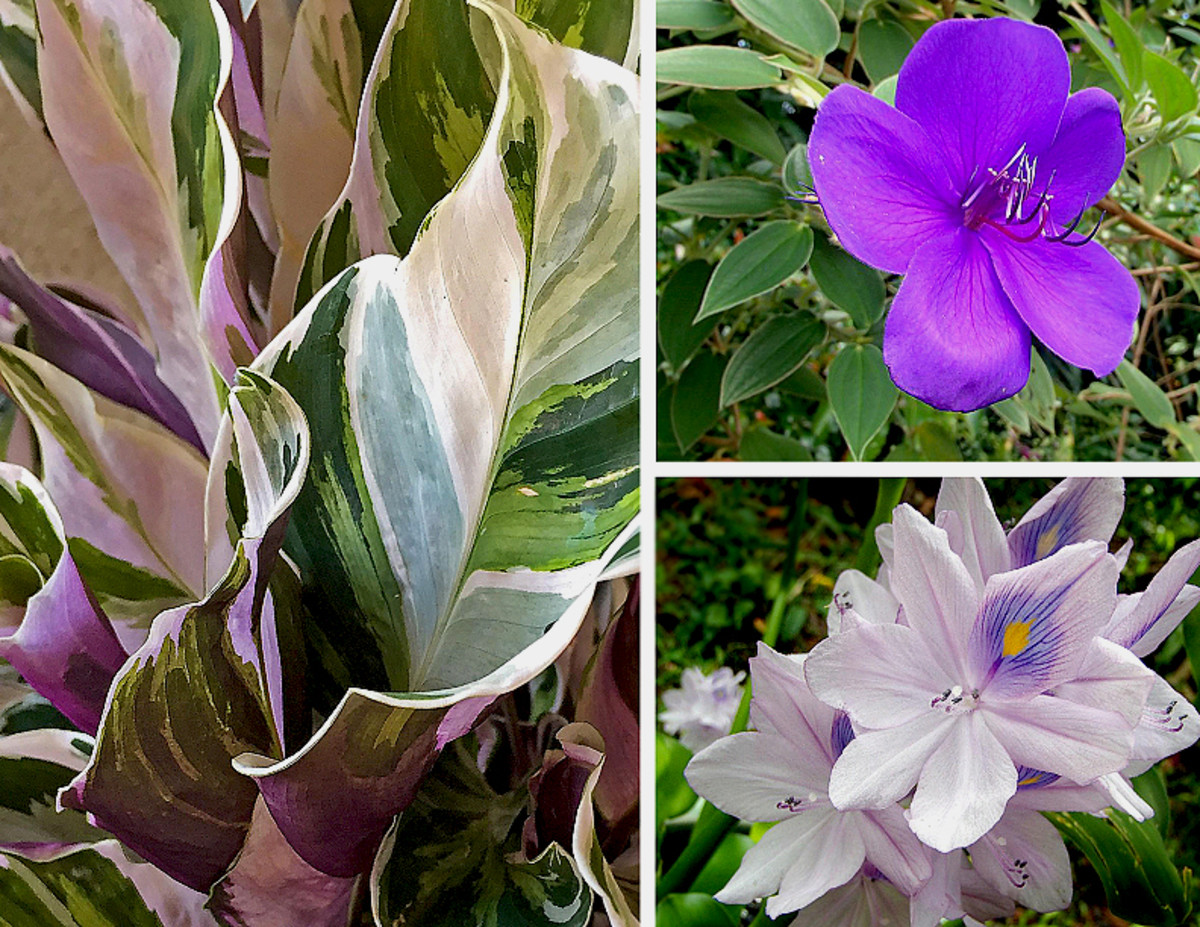 Clockwise from left: Elegant foliage of Calathea 'White Tiger', Princess Flower (Tibouchina sp.) in royal purple, Water Hyacinth (Eichhornia crassipes) blossoms last only one day.