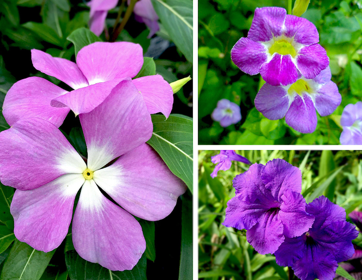 Clockwise from left: Vinca or Madagasca Periwinkle (Catharanthus sp.), Chinese Violet (Asystasia sp.), Mexican Petunia (Ruellia sp.) all have lovely purple varieties.