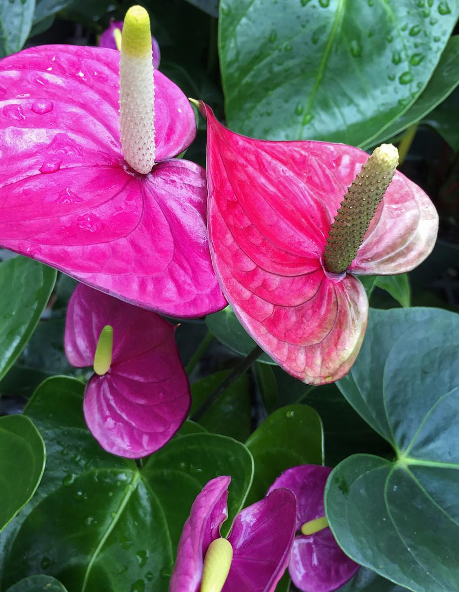 Anthurium 'Purple Heart'.  Anthurium is the most favorite shade garden plant in Hawaii.