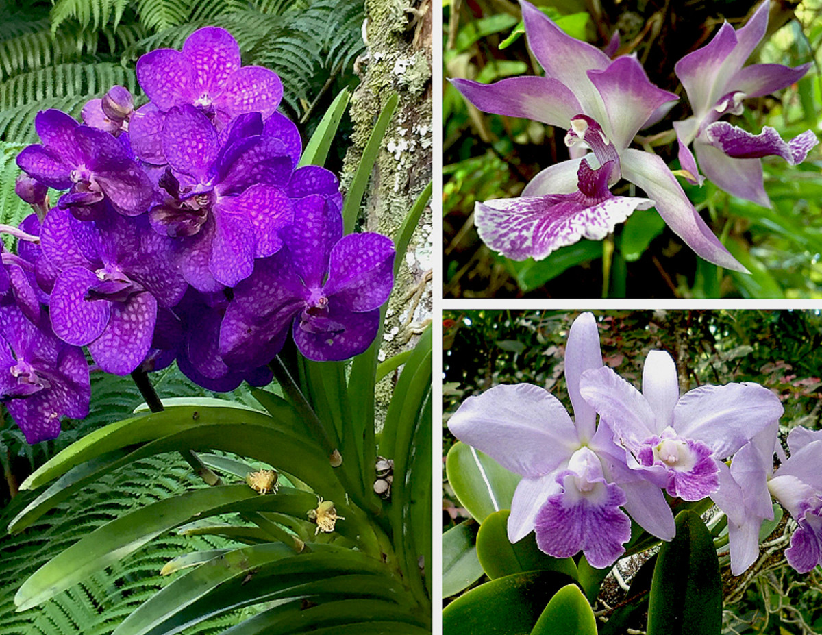 Clockwise from left: Purple Vanda orchid, Zygonisia 'Blue Birds' orchid, Cattleya 'Blue Hawaii' orchid.